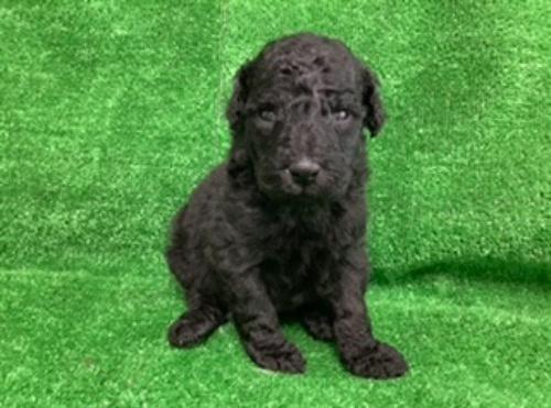 スタンダードプードルの子犬(ID:1256211168)の1枚目の写真/更新日:2021-05-09