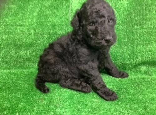 スタンダードプードルの子犬(ID:1256211168)の2枚目の写真/更新日:2021-05-09