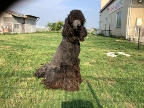 スタンダードプードルの子犬(ID:1256211168)の3枚目の写真/更新日:2021-05-09