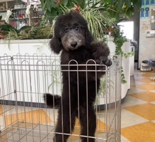 スタンダードプードルの子犬(ID:1256211169)の1枚目の写真/更新日:2021-05-09