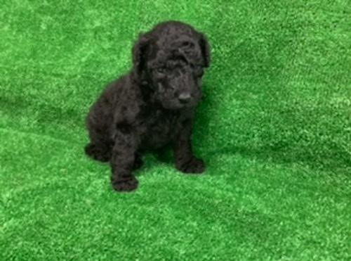 スタンダードプードルの子犬(ID:1256211169)の2枚目の写真/更新日:2021-05-09