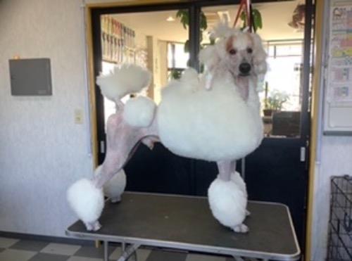 スタンダードプードルの子犬(ID:1256211169)の4枚目の写真/更新日:2021-05-09