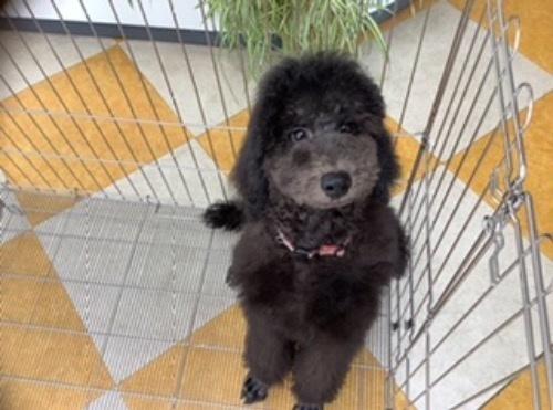 スタンダードプードルの子犬(ID:1256211170)の1枚目の写真/更新日:2021-05-09
