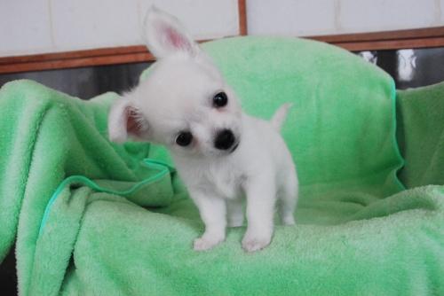 チワワ(ロング)の子犬(ID:1256711005)の1枚目の写真/更新日:2018-08-03