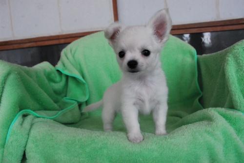 チワワ(ロング)の子犬(ID:1256711005)の2枚目の写真/更新日:2018-08-03