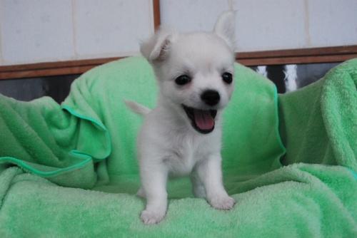 チワワ(ロング)の子犬(ID:1256711005)の3枚目の写真/更新日:2018-08-03