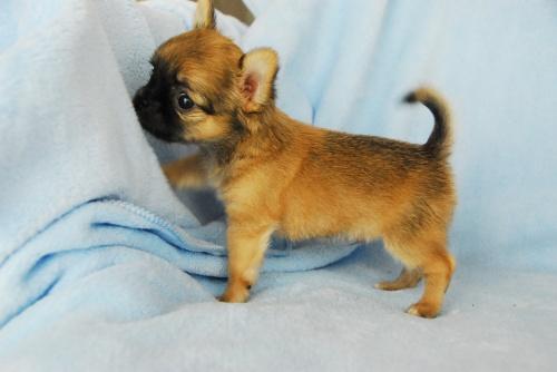 チワワ(ロング)の子犬(ID:1256711007)の4枚目の写真/更新日:2018-08-14