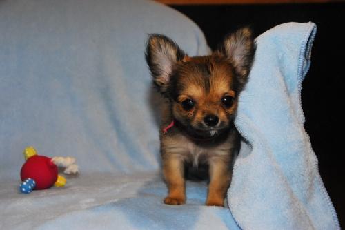 チワワ(ロング)の子犬(ID:1256711008)の1枚目の写真/更新日:2018-08-14