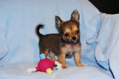 チワワ(ロング)の子犬(ID:1256711008)の2枚目の写真/更新日:2018-08-14