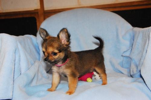 チワワ(ロング)の子犬(ID:1256711008)の3枚目の写真/更新日:2018-08-14