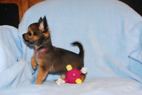 チワワ(ロング)の子犬(ID:1256711008)の4枚目の写真/更新日:2018-08-14