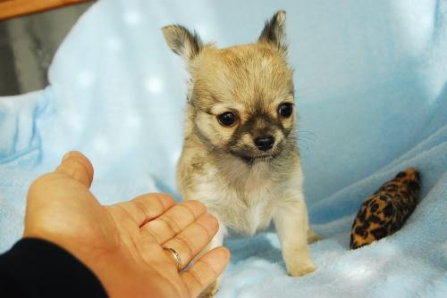 チワワ(ロング)の子犬(ID:1256711009)の1枚目の写真/更新日:2018-11-24