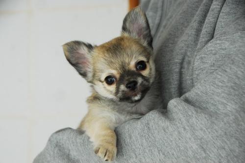チワワ(ロング)の子犬(ID:1256711009)の4枚目の写真/更新日:2018-11-24