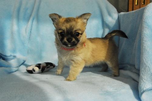 チワワ(ロング)の子犬(ID:1256711010)の3枚目の写真/更新日:2018-11-10