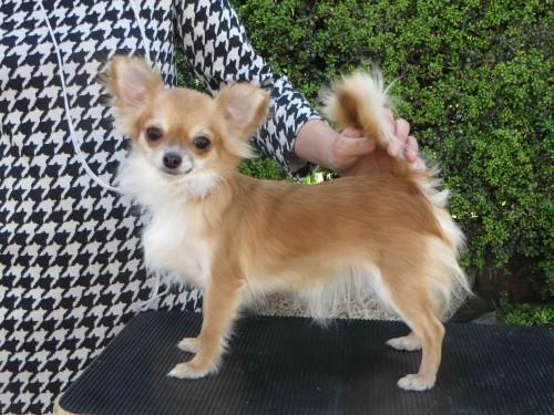 チワワ(ロング)の子犬(ID:1256711010)の5枚目の写真/更新日:2018-10-27
