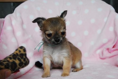 チワワ(ロング)の子犬(ID:1256711012)の2枚目の写真/更新日:2019-04-08