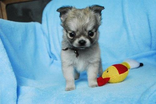 チワワ(ロング)の子犬(ID:1256711022)の1枚目の写真/更新日:2019-12-30