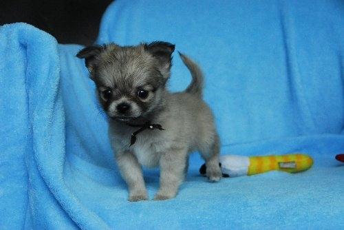 チワワ(ロング)の子犬(ID:1256711022)の2枚目の写真/更新日:2019-12-30