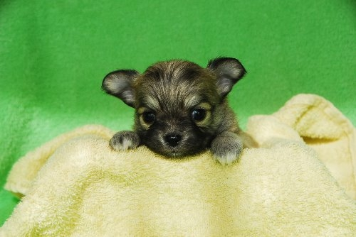 チワワ(ロング)の子犬(ID:1256711023)の1枚目の写真/更新日:2019-12-10