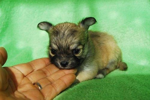 チワワ(ロング)の子犬(ID:1256711023)の2枚目の写真/更新日:2019-12-10