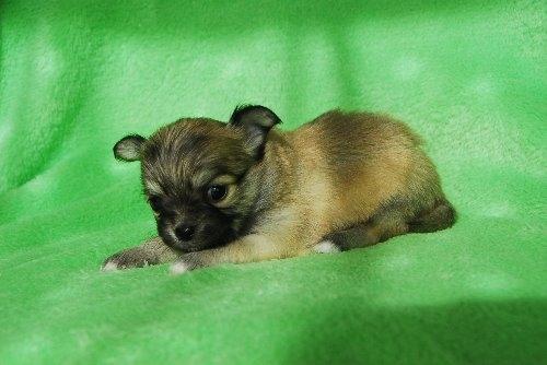 チワワ(ロング)の子犬(ID:1256711023)の4枚目の写真/更新日:2019-12-10