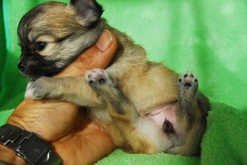 チワワ(ロング)の子犬(ID:1256711023)の5枚目の写真/更新日:2019-12-10