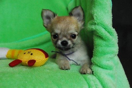 チワワ(ロング)の子犬(ID:1256711024)の1枚目の写真/更新日:2020-01-07