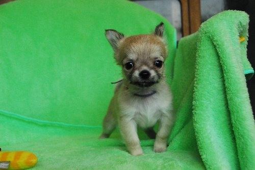 チワワ(ロング)の子犬(ID:1256711024)の2枚目の写真/更新日:2020-01-07