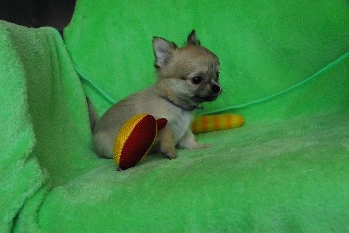 チワワ(ロング)の子犬(ID:1256711024)の4枚目の写真/更新日:2020-01-07