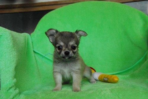 チワワ(ロング)の子犬(ID:1256711025)の1枚目の写真/更新日:2020-01-07