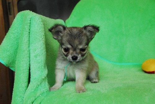 チワワ(ロング)の子犬(ID:1256711025)の2枚目の写真/更新日:2020-01-07