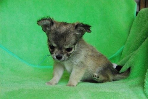 チワワ(ロング)の子犬(ID:1256711025)の3枚目の写真/更新日:2020-01-07