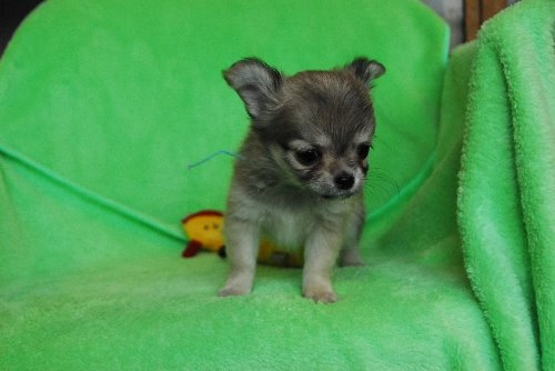 チワワ(ロング)の子犬(ID:1256711025)の4枚目の写真/更新日:2020-01-07