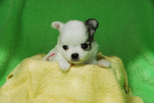 チワワ(ロング)の子犬(ID:1256711026)の1枚目の写真/更新日:2019-12-10