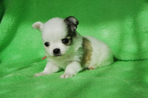 チワワ(ロング)の子犬(ID:1256711026)の2枚目の写真/更新日:2019-12-10