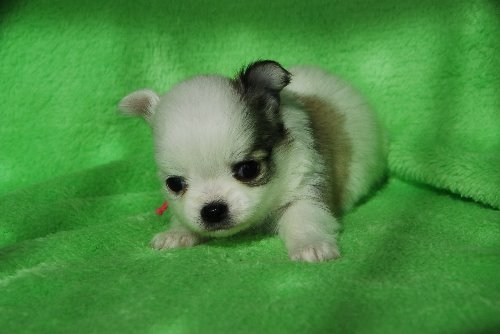 チワワ(ロング)の子犬(ID:1256711026)の3枚目の写真/更新日:2019-12-10