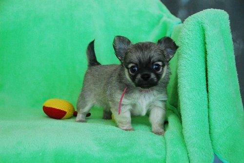 チワワ(ロング)の子犬(ID:1256711027)の1枚目の写真/更新日:2020-05-11