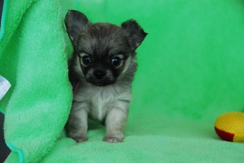 チワワ(ロング)の子犬(ID:1256711027)の2枚目の写真/更新日:2020-05-11