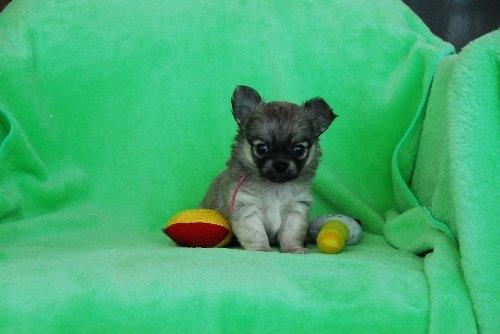 チワワ(ロング)の子犬(ID:1256711027)の3枚目の写真/更新日:2020-05-11