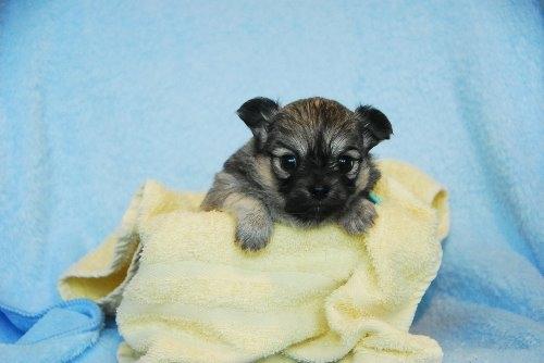 チワワ(ロング)の子犬(ID:1256711028)の1枚目の写真/更新日:2020-05-03