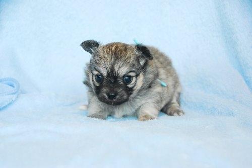 チワワ(ロング)の子犬(ID:1256711028)の3枚目の写真/更新日:2020-05-03