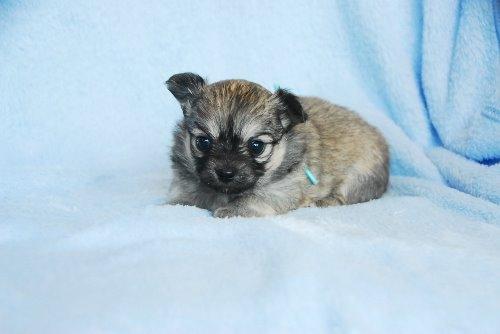 チワワ(ロング)の子犬(ID:1256711028)の4枚目の写真/更新日:2020-05-03