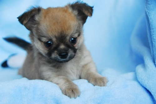 チワワ(ロング)の子犬(ID:1256711029)の1枚目の写真/更新日:2020-09-04