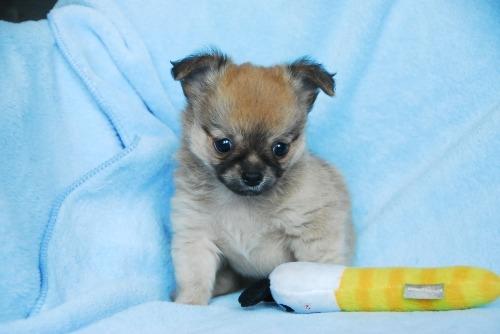 チワワ(ロング)の子犬(ID:1256711029)の2枚目の写真/更新日:2020-09-04