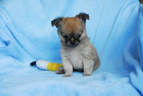 チワワ(ロング)の子犬(ID:1256711029)の3枚目の写真/更新日:2020-09-04