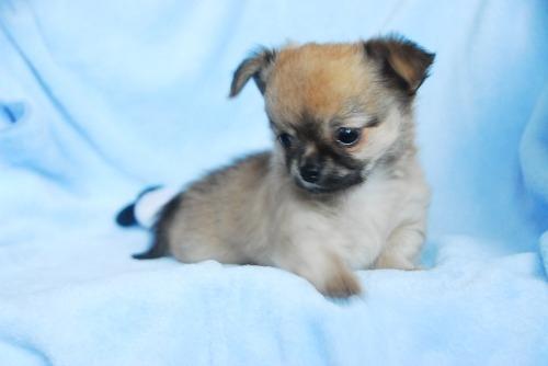 チワワ(ロング)の子犬(ID:1256711029)の4枚目の写真/更新日:2020-09-04