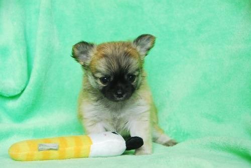 チワワ(ロング)の子犬(ID:1256711030)の1枚目の写真/更新日:2020-08-29