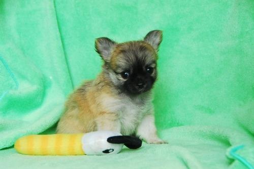 チワワ(ロング)の子犬(ID:1256711030)の2枚目の写真/更新日:2020-08-29