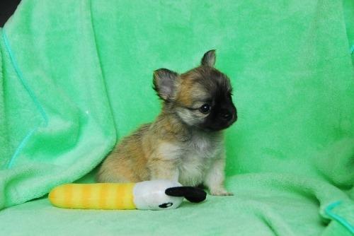 チワワ(ロング)の子犬(ID:1256711030)の3枚目の写真/更新日:2020-08-29