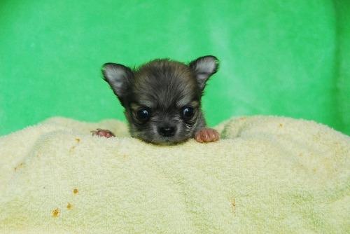 チワワ(ロング)の子犬(ID:1256711031)の1枚目の写真/更新日:2020-10-09